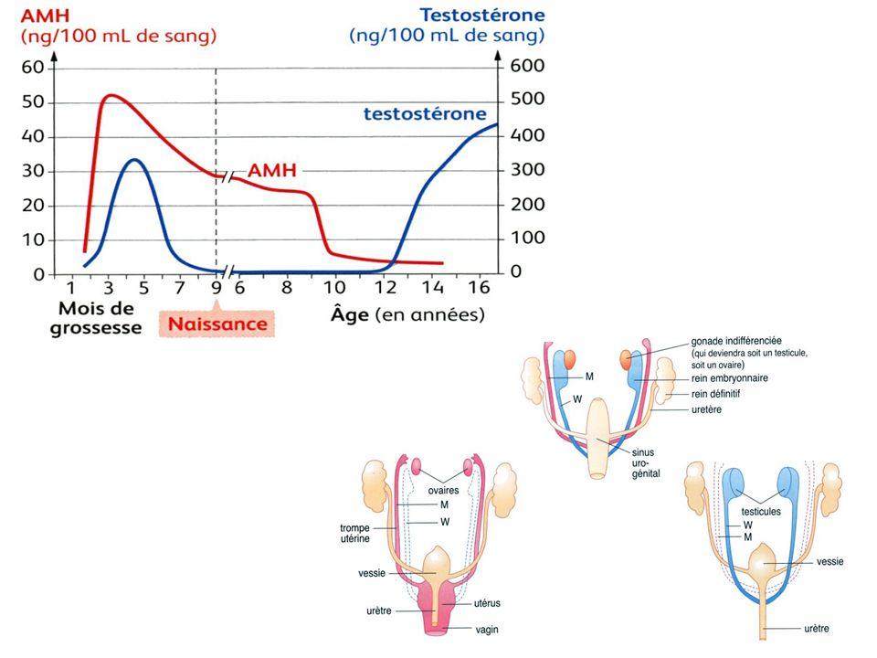 1 Productions hormonales du testicule en fonction de l âge - 2 Différenciation des voies génitales internes (animation) - 3 Différenciation des voies génitales internes (schéma de synthèse) • Chez le garçon, à la 9e semaine, le testicule produit deux hormones (1) : - la testostérone qui provoque la différenciation des canaux de Wolff en épididyme, canal déférent, vésicules séminales et prostate (2 & 3) ; - l hormone anti-müllerienne (ou AMH) qui entraîne la dégénérescence des canaux de Müller (2 & 3) ; La production de testostérone et d AMH cesse dès l acquisition du sexe phénotypique (1).