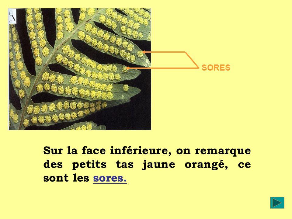 SORES Sur la face inférieure, on remarque des petits tas jaune orangé, ce sont les sores.