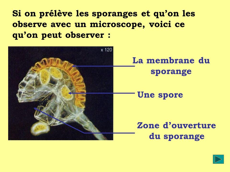 La membrane du sporange Zone d'ouverture du sporange