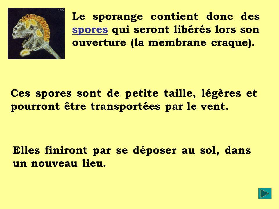 Le sporange contient donc des spores qui seront libérés lors son ouverture (la membrane craque).