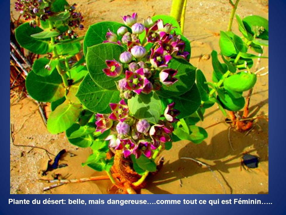 Plante du désert: belle, mais dangereuse…