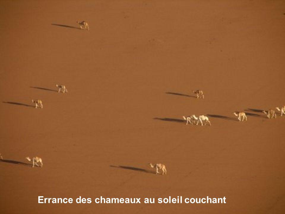 Errance des chameaux au soleil couchant