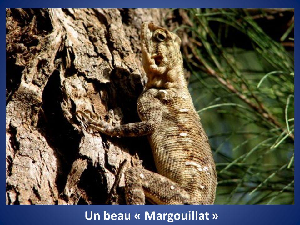 Un beau « Margouillat »