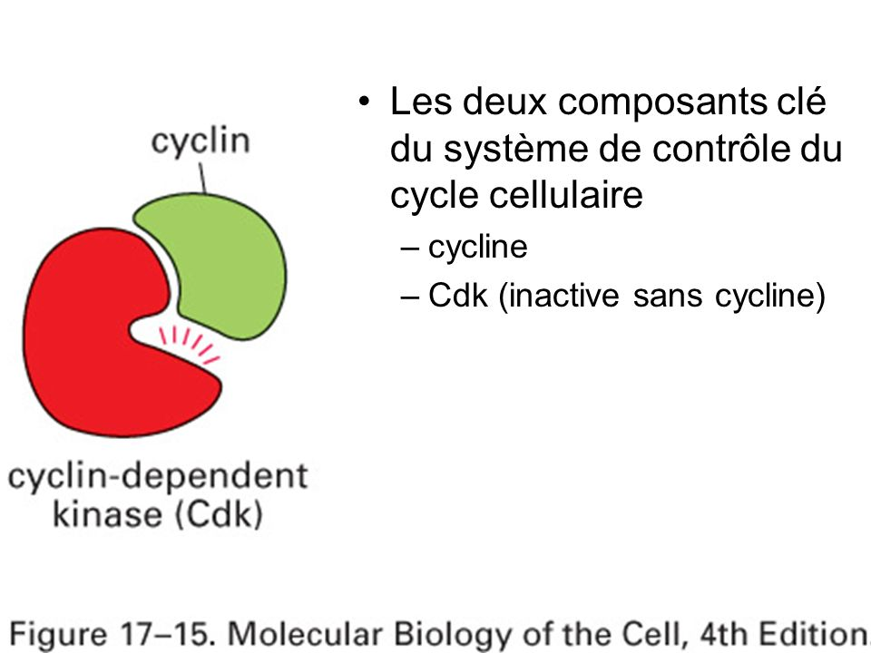 Mardi 23 janvier 2007 Les deux composants clé du système de contrôle du cycle cellulaire. cycline.