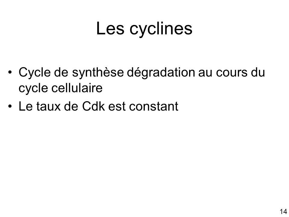 Mardi 23 janvier 2007 Les cyclines. Cycle de synthèse dégradation au cours du cycle cellulaire. Le taux de Cdk est constant.