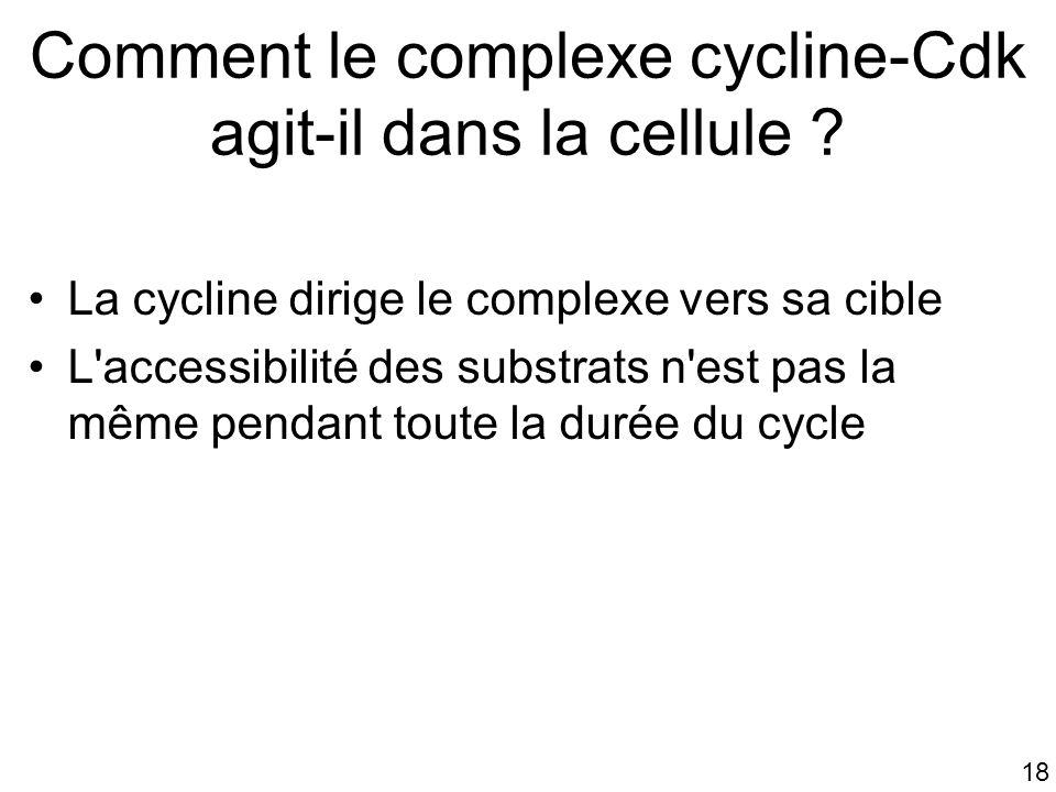 Comment le complexe cycline-Cdk agit-il dans la cellule