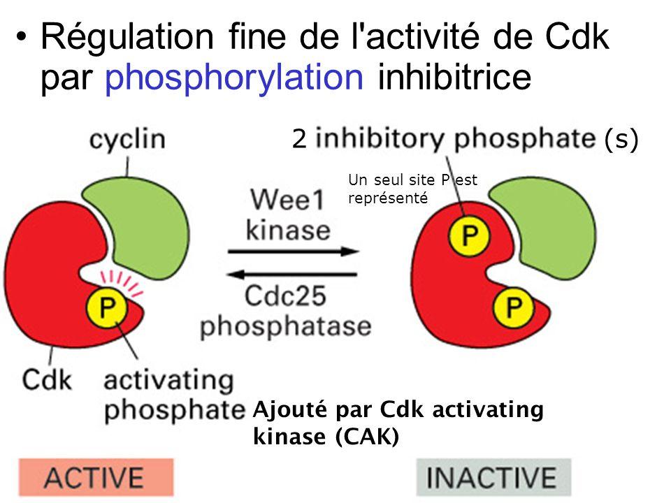 Mardi 23 janvier 2007 Régulation fine de l activité de Cdk par phosphorylation inhibitrice. 2. (s)