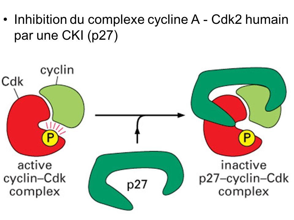 Mardi 23 janvier 2007 Inhibition du complexe cycline A - Cdk2 humain par une CKI (p27) Fig 17-19.