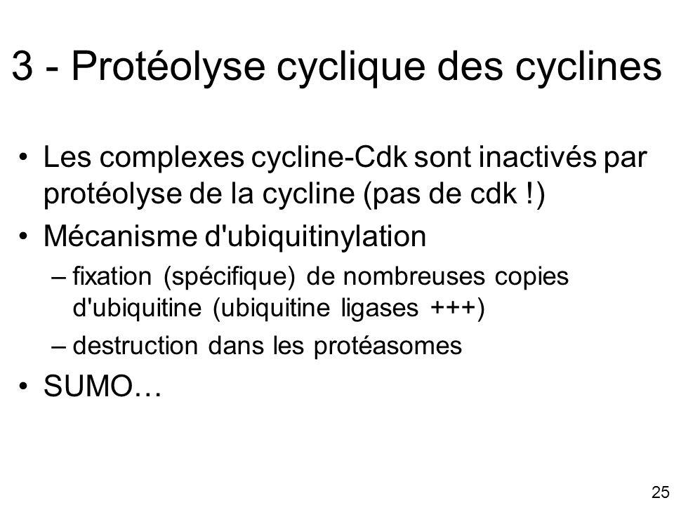 3 - Protéolyse cyclique des cyclines