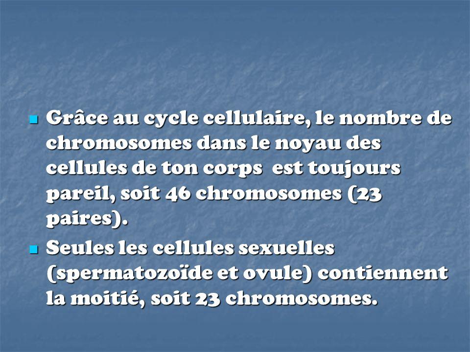 Grâce au cycle cellulaire, le nombre de chromosomes dans le noyau des cellules de ton corps est toujours pareil, soit 46 chromosomes (23 paires).