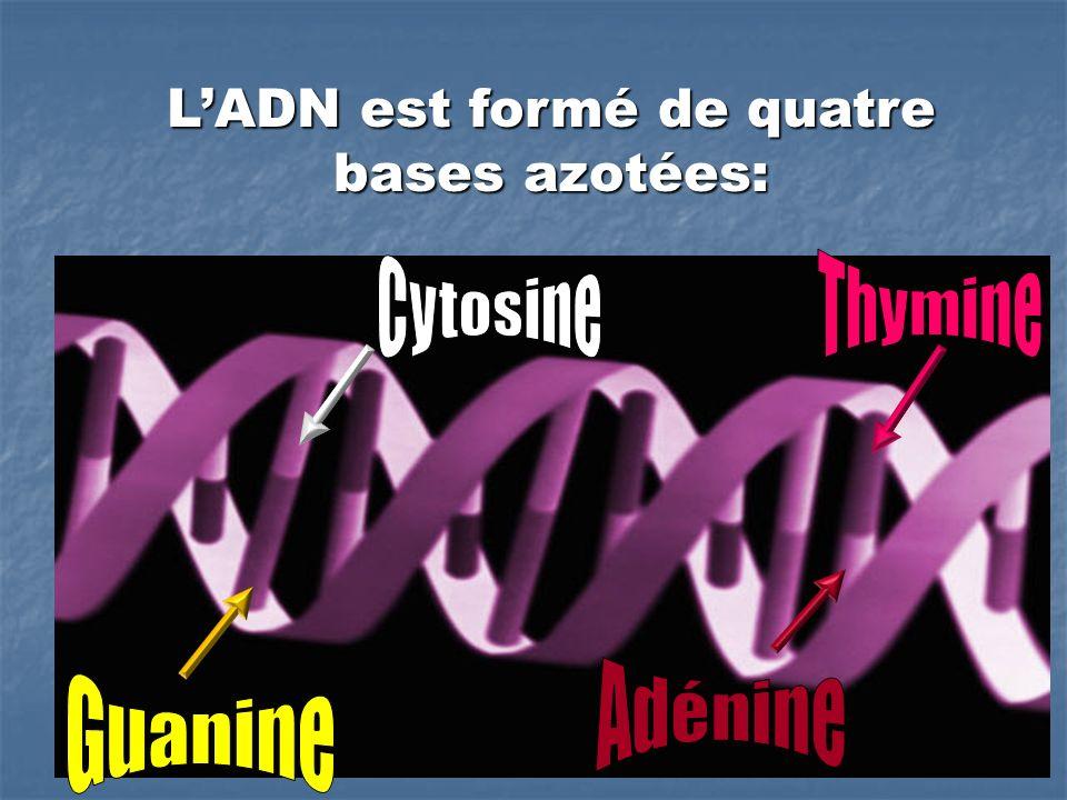 L'ADN est formé de quatre bases azotées: