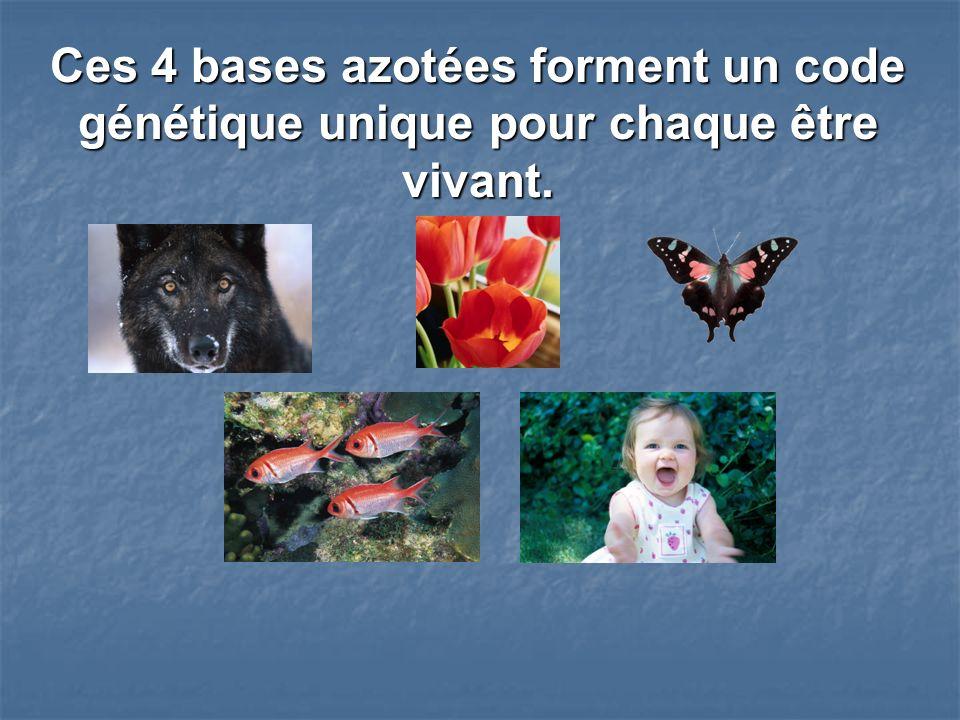 Ces 4 bases azotées forment un code génétique unique pour chaque être vivant.