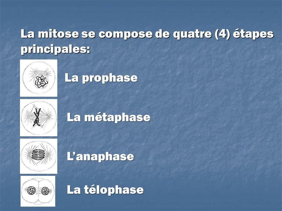 La mitose se compose de quatre (4) étapes principales: