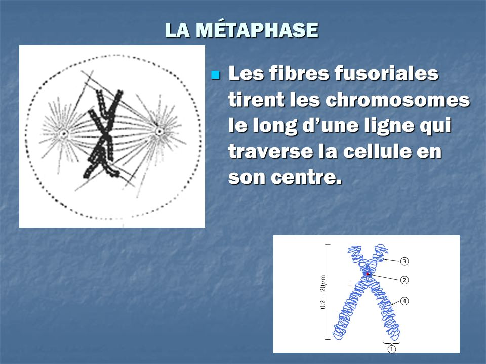 LA MÉTAPHASE Les fibres fusoriales tirent les chromosomes le long d'une ligne qui traverse la cellule en son centre.