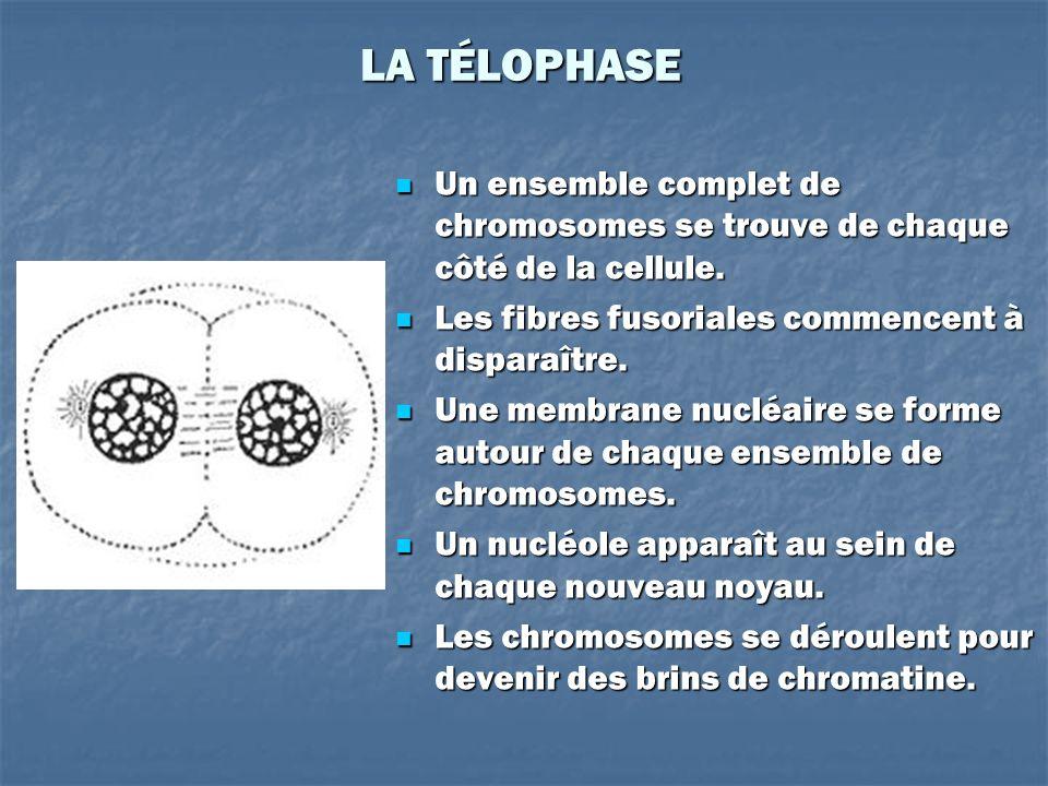 LA TÉLOPHASE Un ensemble complet de chromosomes se trouve de chaque côté de la cellule. Les fibres fusoriales commencent à disparaître.