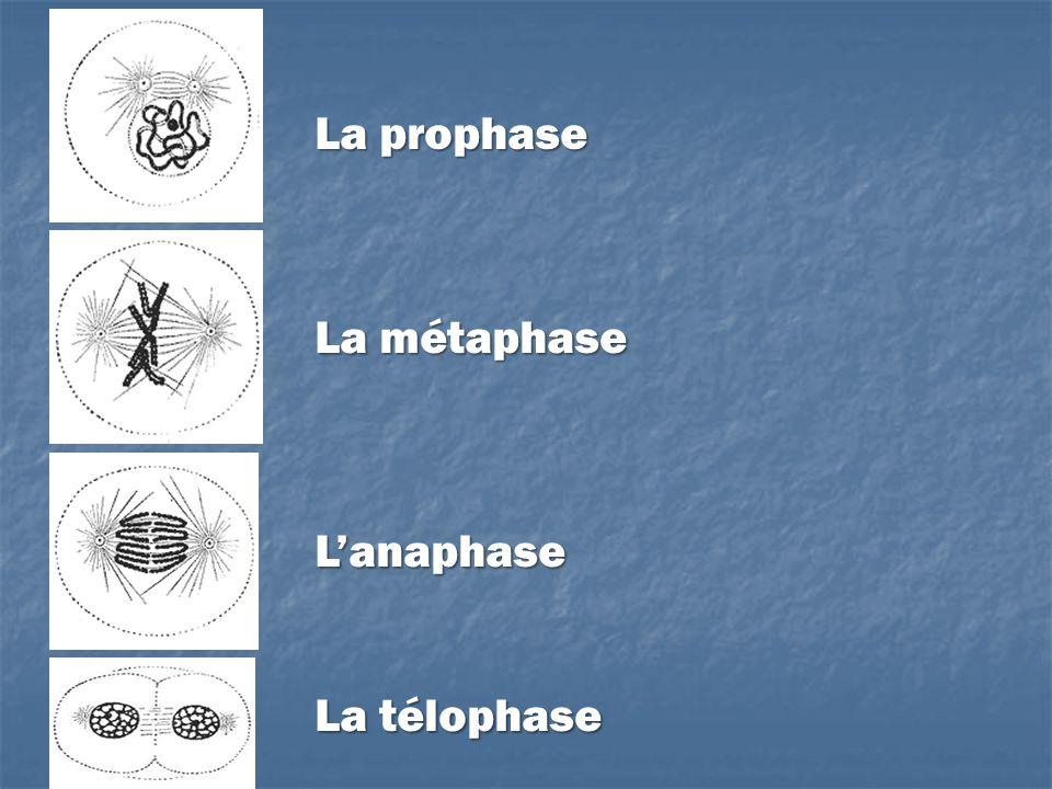 La prophase La métaphase L'anaphase La télophase