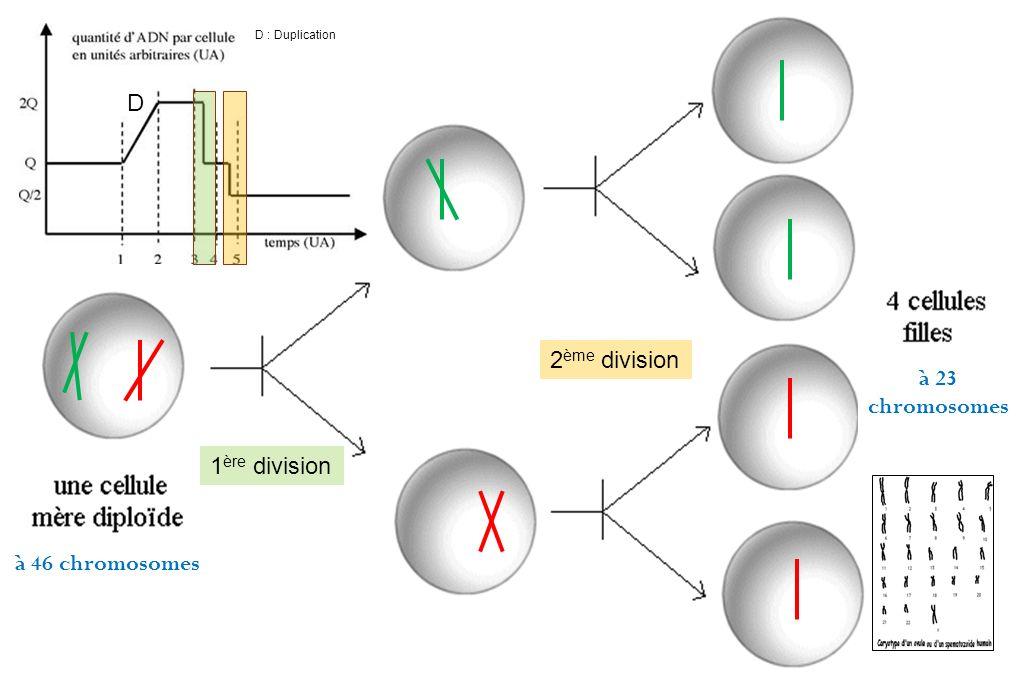 à 23 chromosomes à 46 chromosomes