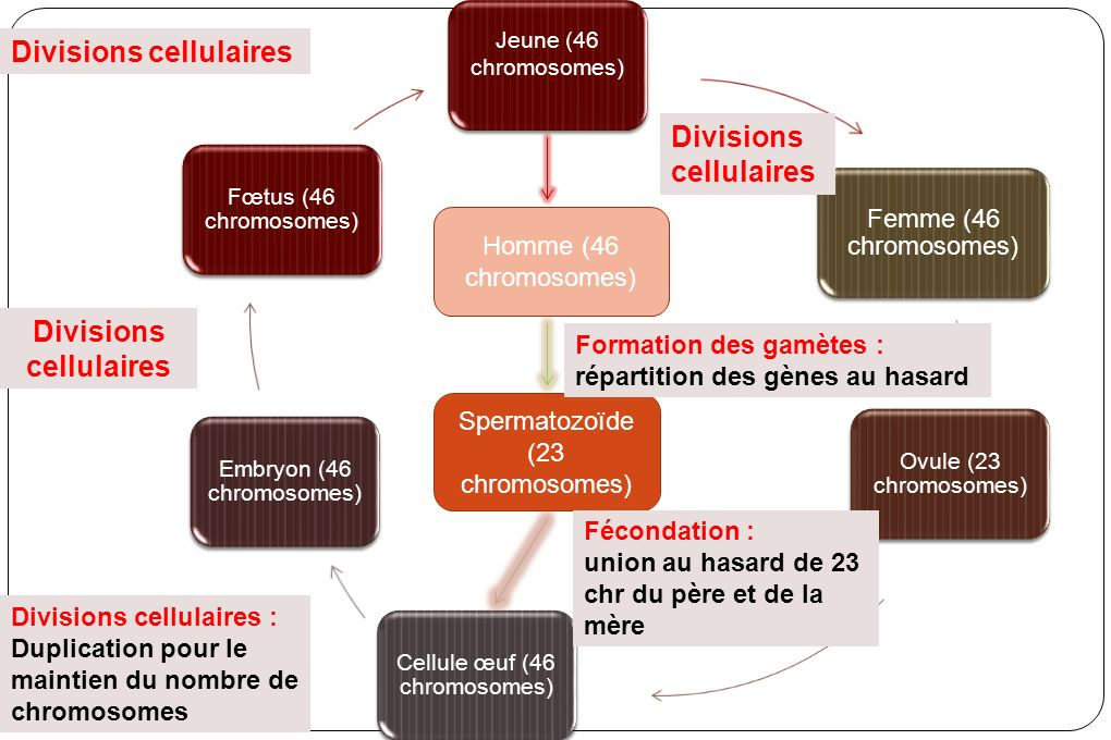 Divisions cellulaires