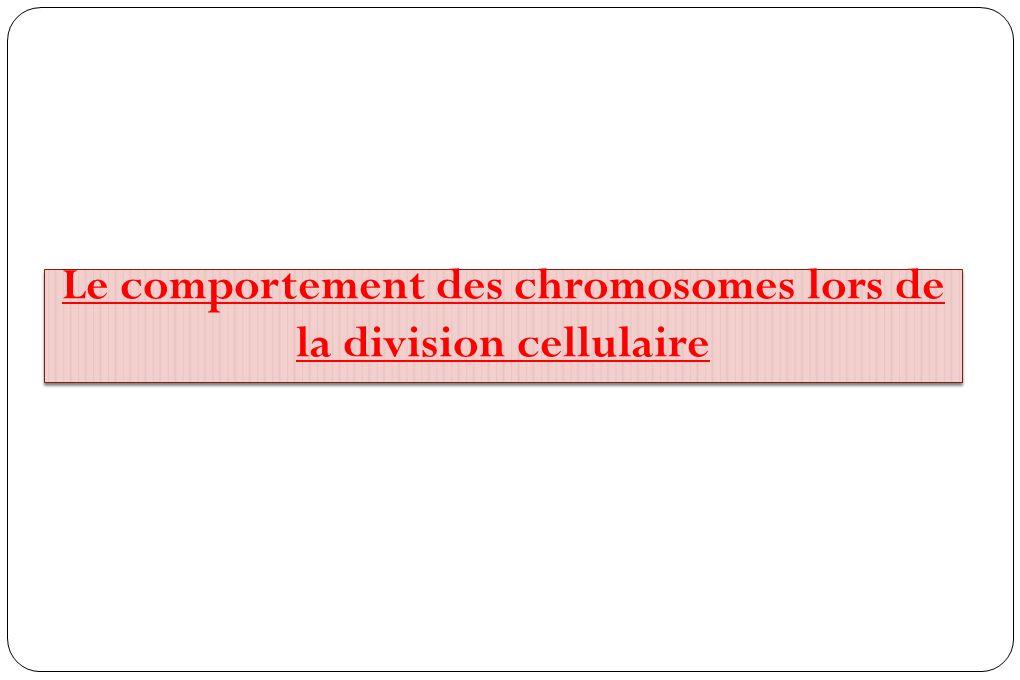 Le comportement des chromosomes lors de la division cellulaire