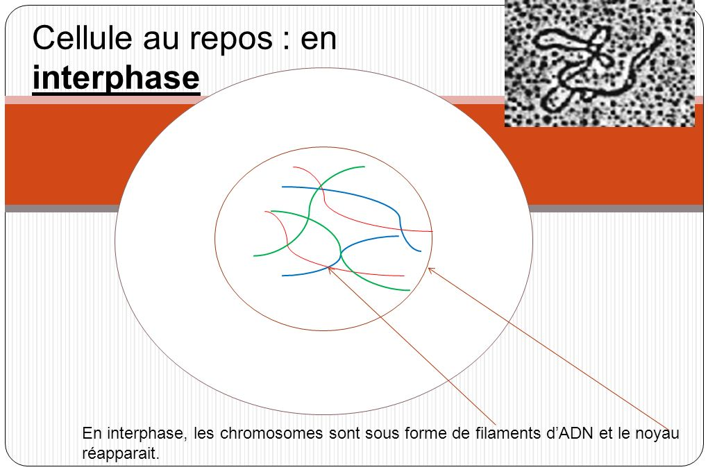 Cellule au repos : en interphase