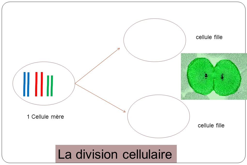 La division cellulaire