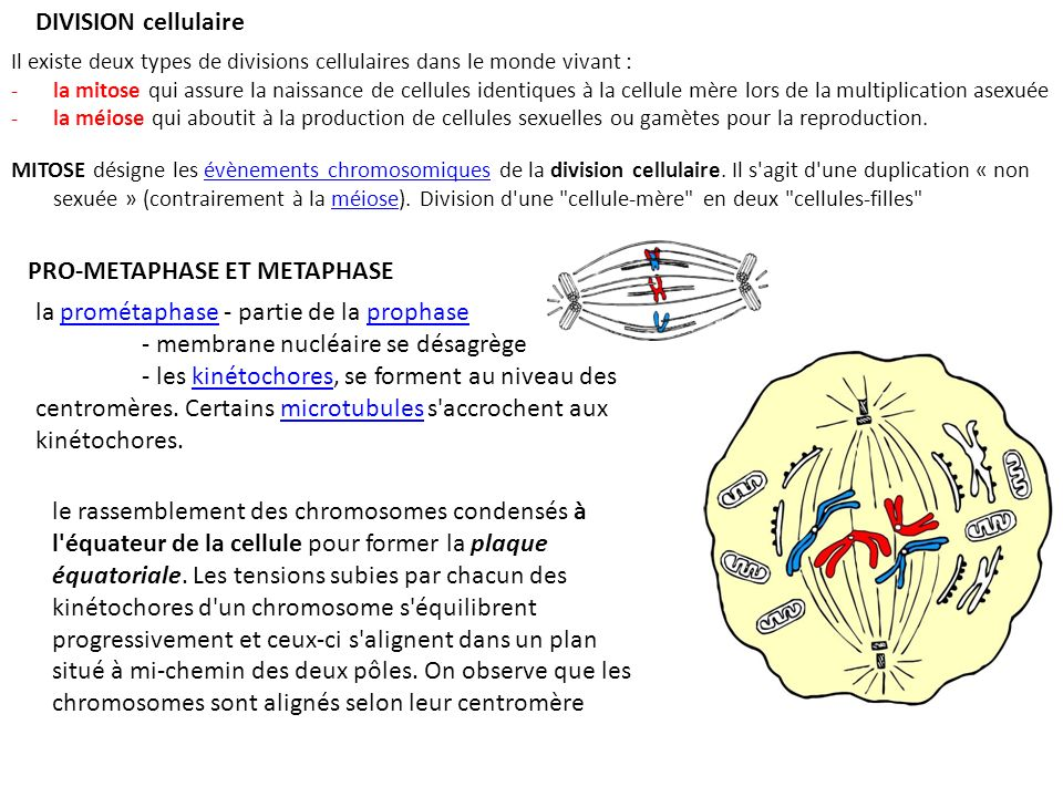 PRO-METAPHASE ET METAPHASE