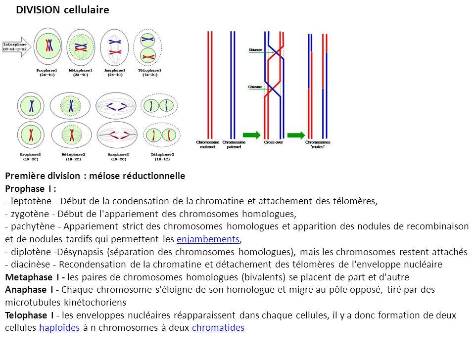 DIVISION cellulaire Première division : méiose réductionnelle