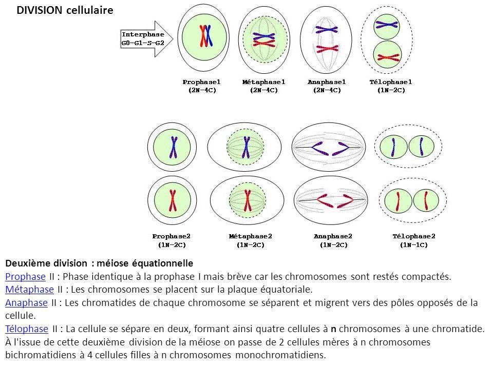 DIVISION cellulaire Deuxième division : méiose équationnelle
