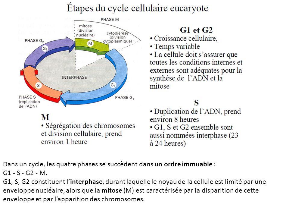 Dans un cycle, les quatre phases se succèdent dans un ordre immuable :