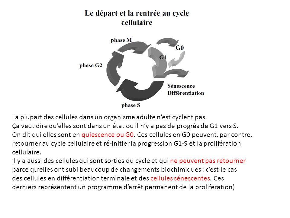 La plupart des cellules dans un organisme adulte n'est cyclent pas.