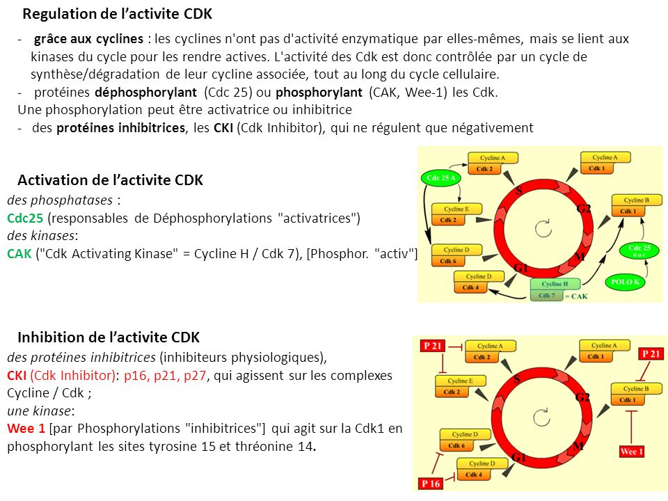 Regulation de l'activite CDK