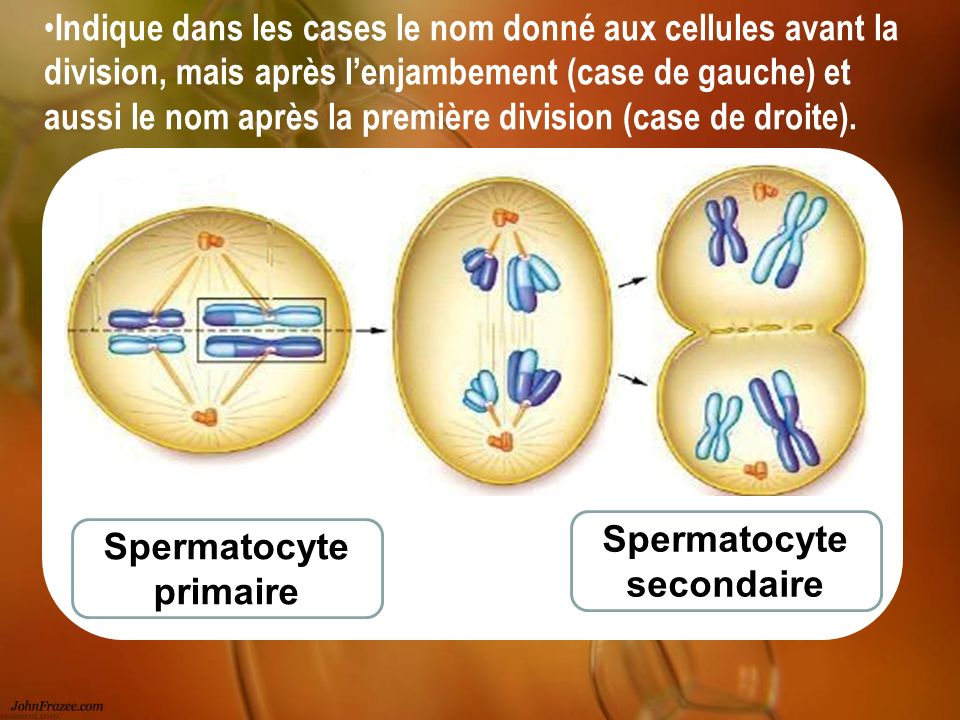 Spermatocyte secondaire Spermatocyte primaire