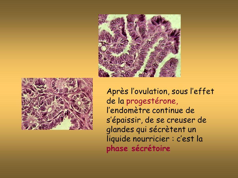 Après l'ovulation, sous l'effet de la progestérone, l'endomètre continue de s'épaissir, de se creuser de glandes qui sécrètent un liquide nourricier : c'est la phase sécrétoire