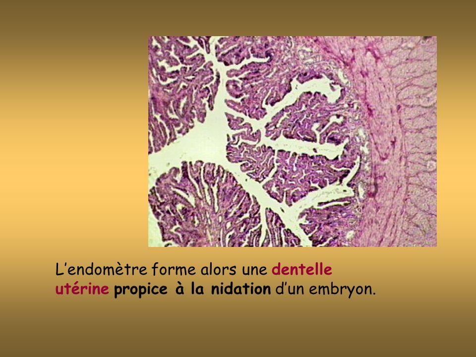 L'endomètre forme alors une dentelle utérine propice à la nidation d'un embryon.