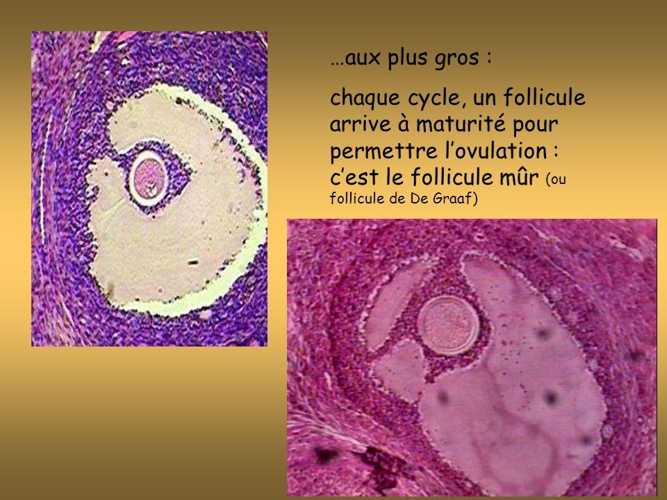…aux plus gros : chaque cycle, un follicule arrive à maturité pour permettre l'ovulation : c'est le follicule mûr (ou follicule de De Graaf)