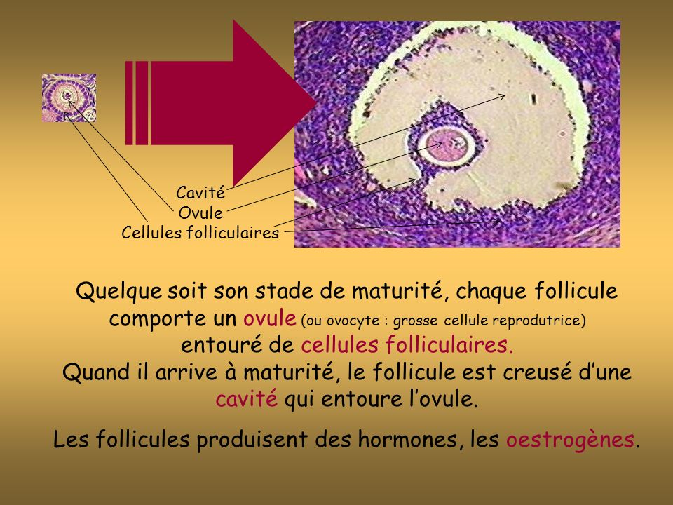 Les follicules produisent des hormones, les oestrogènes.