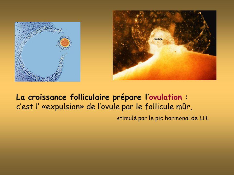 La croissance folliculaire prépare l'ovulation : c'est l' «expulsion» de l'ovule par le follicule mûr,
