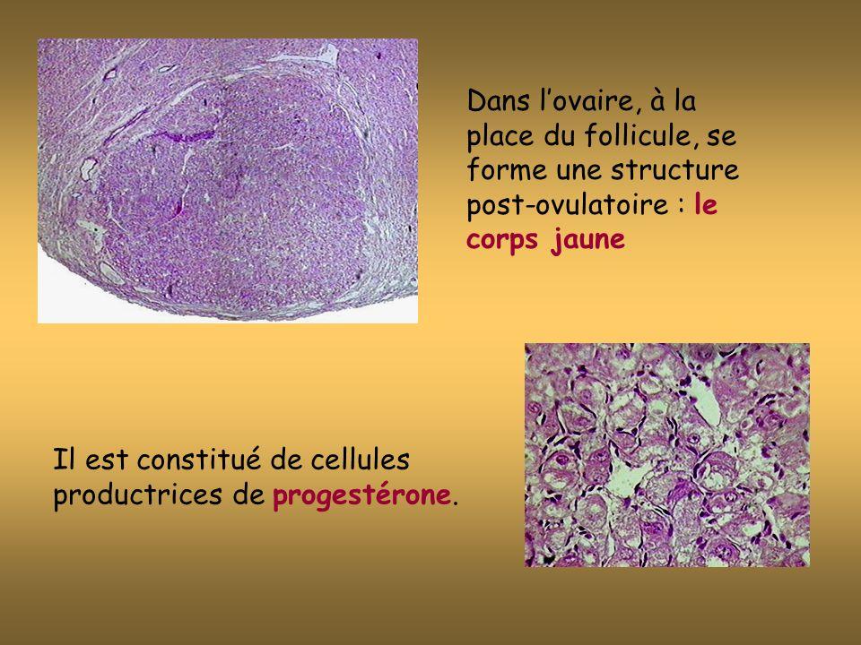 Dans l'ovaire, à la place du follicule, se forme une structure post-ovulatoire : le corps jaune