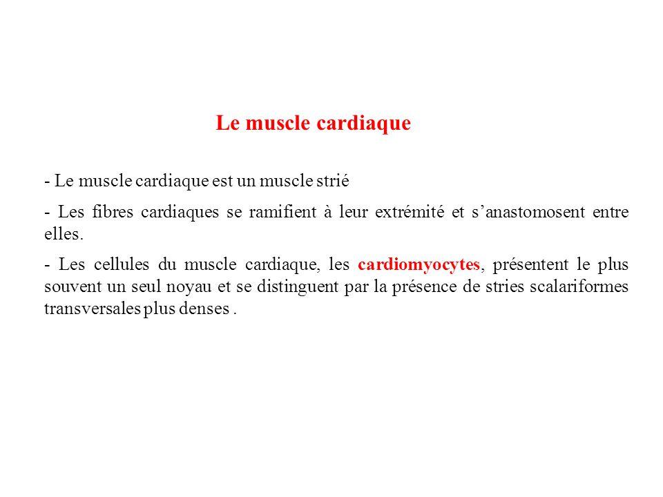 Le muscle cardiaque - Le muscle cardiaque est un muscle strié