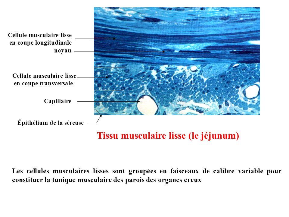 Tissu musculaire lisse (le jéjunum)