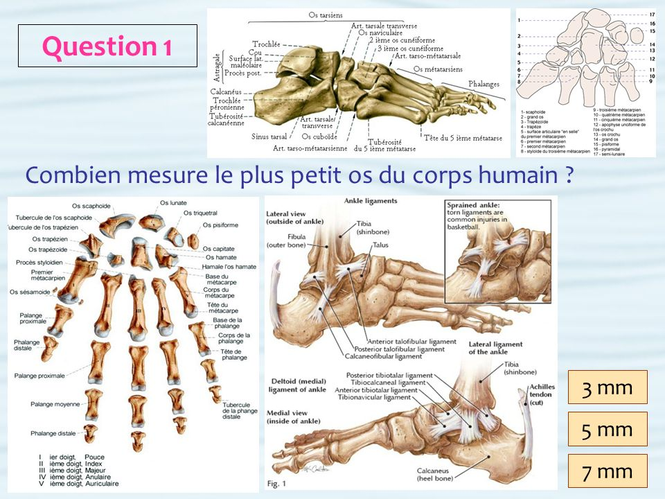 Question 1 Combien mesure le plus petit os du corps humain 3 mm 5 mm