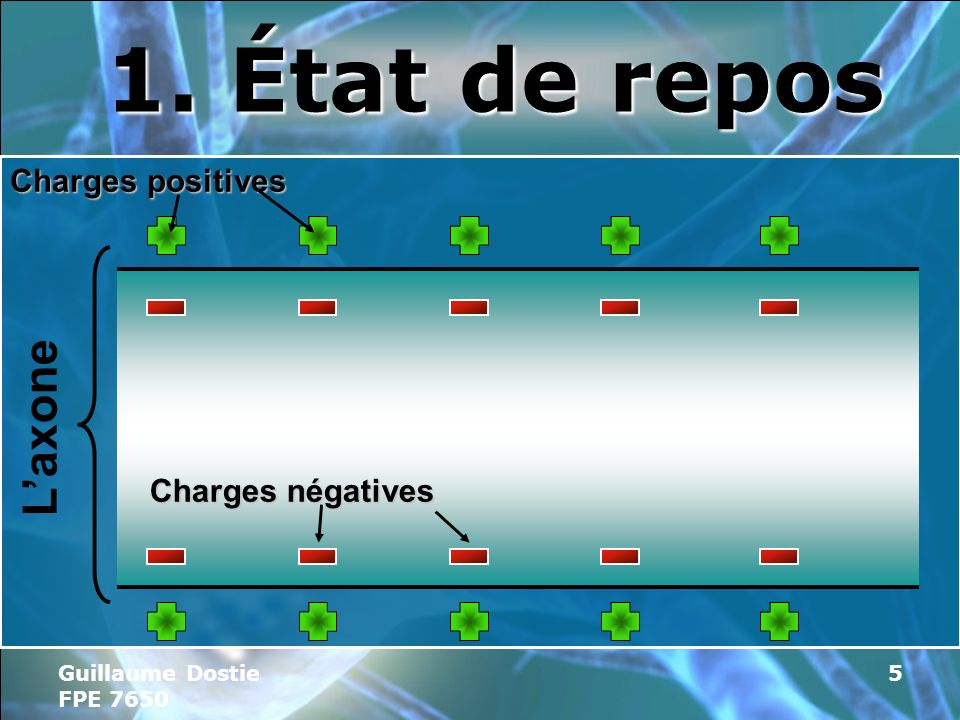 1. État de repos L'axone Charges positives Charges négatives