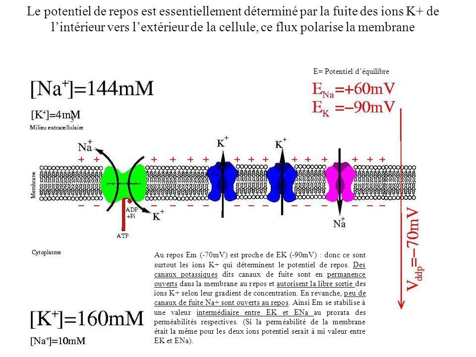Le potentiel de repos est essentiellement déterminé par la fuite des ions K+ de l'intérieur vers l'extérieur de la cellule, ce flux polarise la membrane