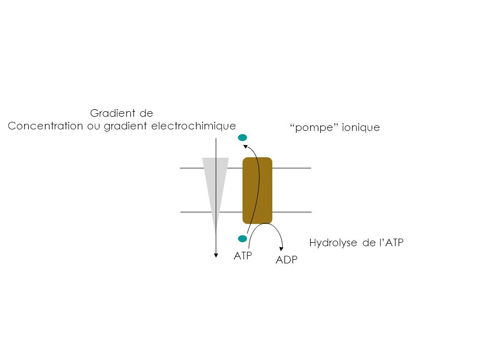 Concentration ou gradient electrochimique