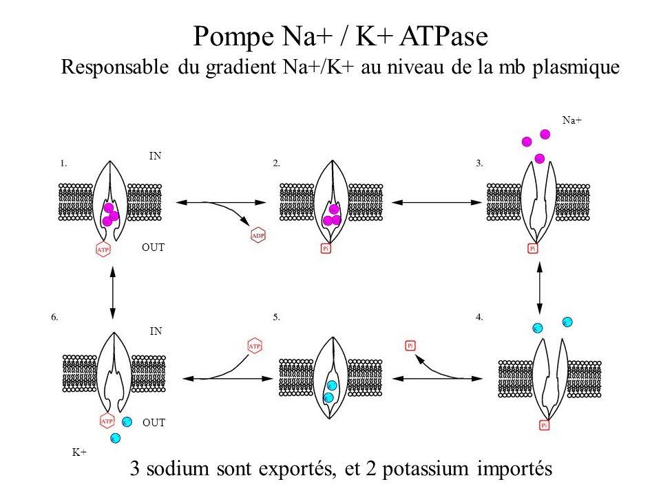 Responsable du gradient Na+/K+ au niveau de la mb plasmique