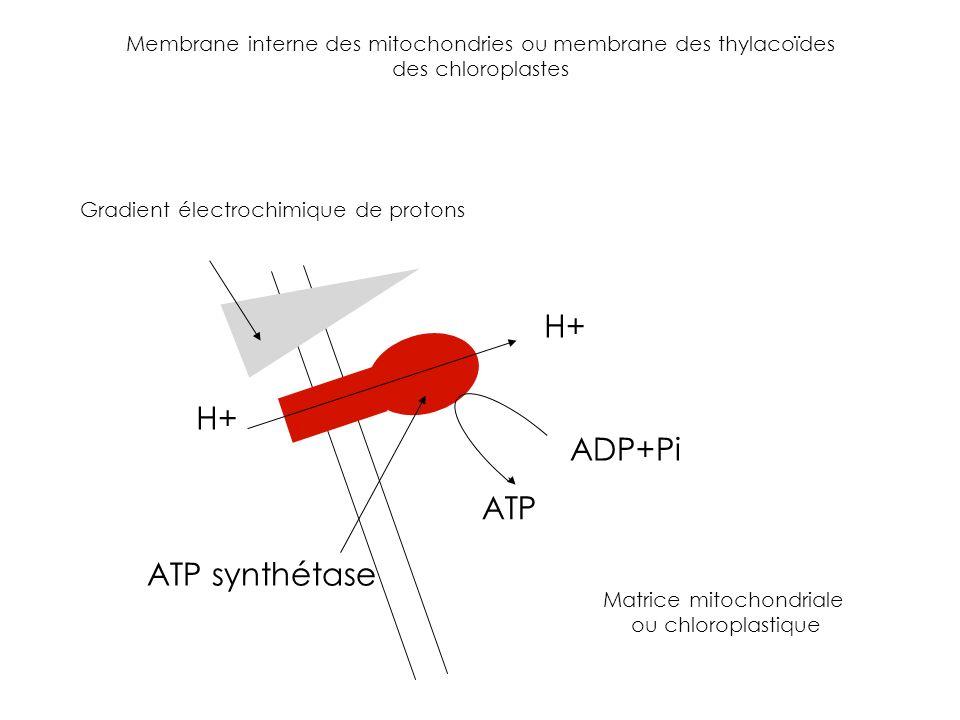 H+ H+ ADP+Pi ATP ATP synthétase