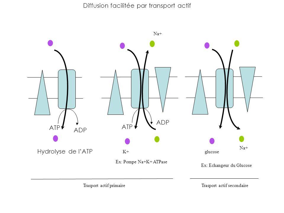 Diffusion facilitée par transport actif