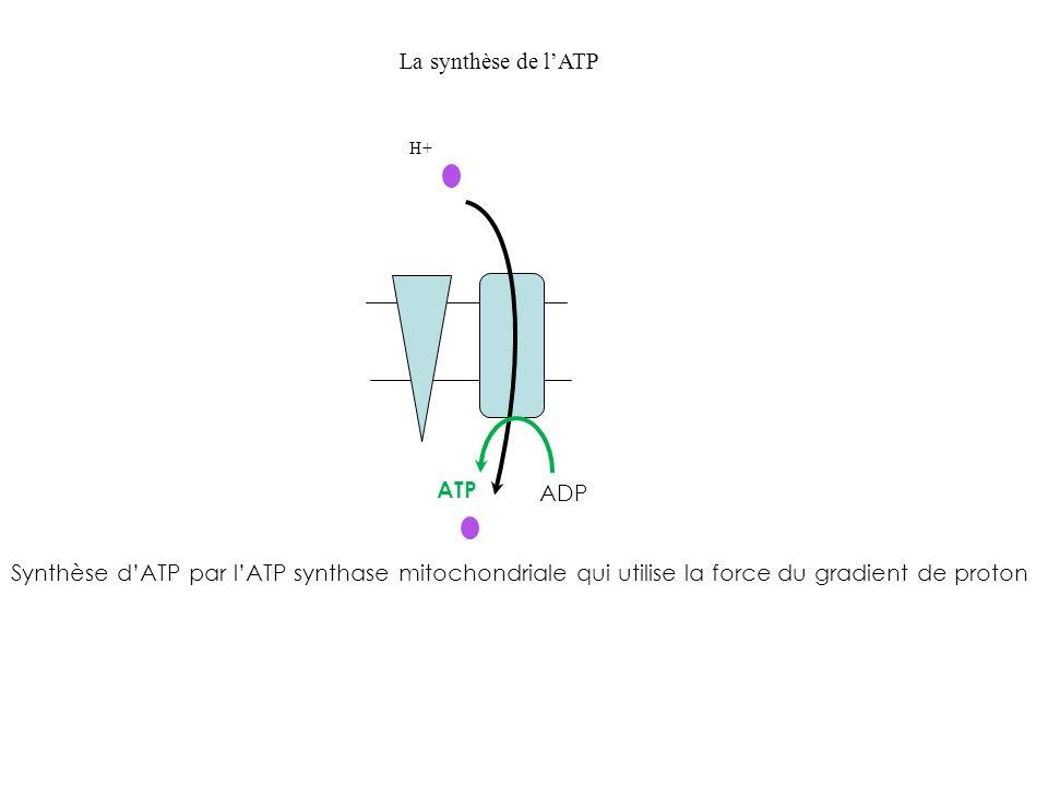 La synthèse de l'ATP ATP ADP