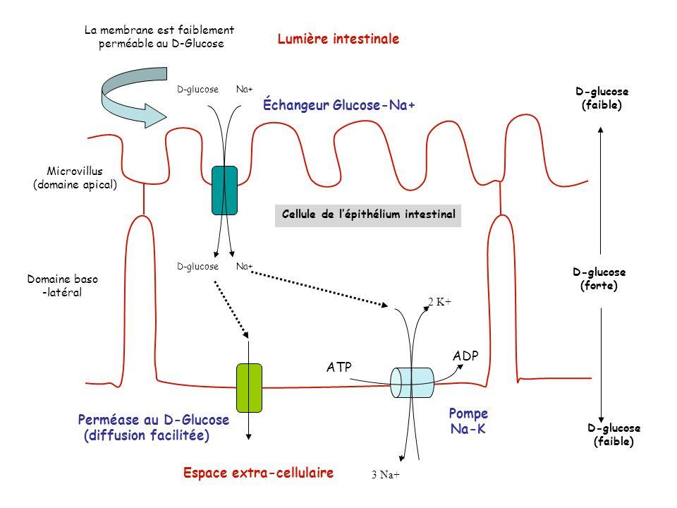 Échangeur Glucose-Na+