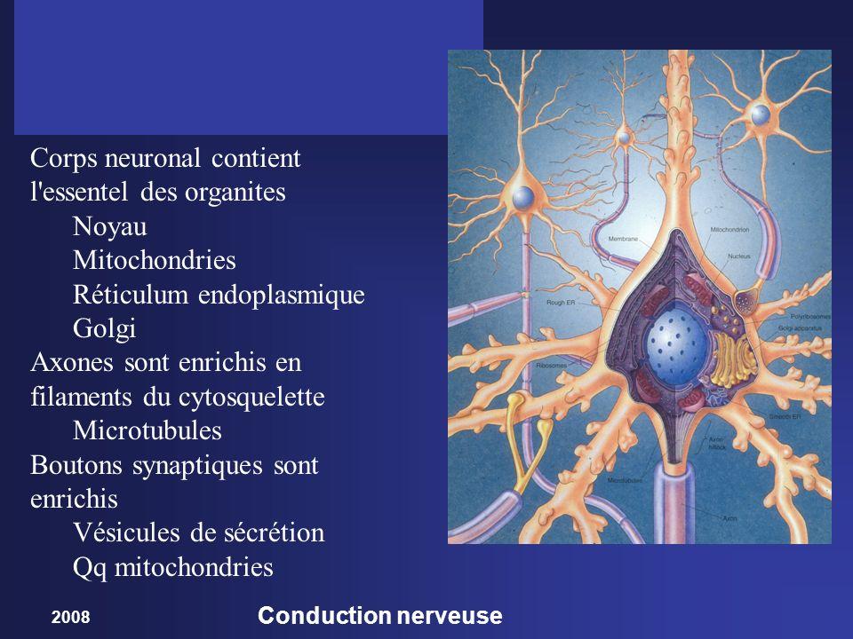 Corps neuronal contient l essentel des organites Noyau Mitochondries